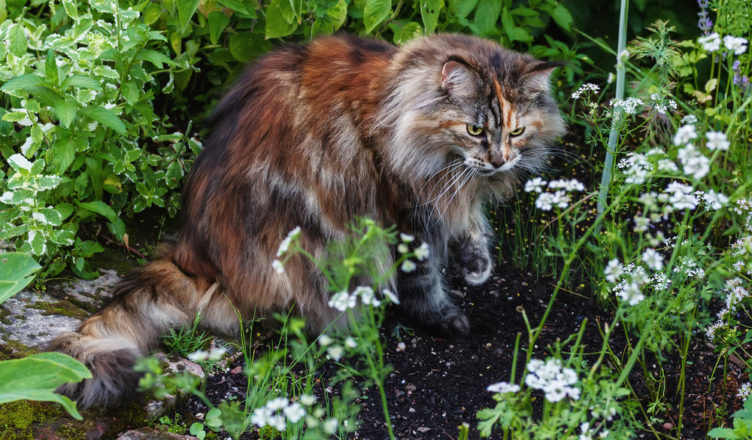 maine coon history
