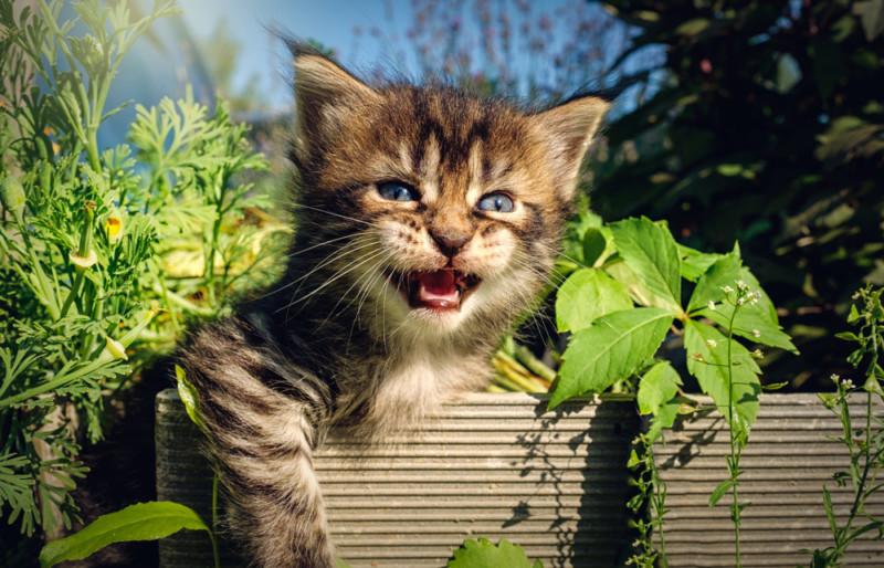 maine coon cat characteristics
