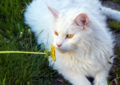 white maine coon cat